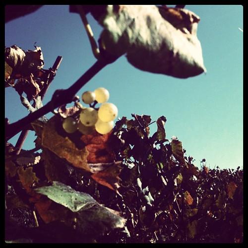 就是這葡萄,釀出Chablis Grand Cru白酒。