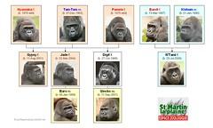 Gorilla Family - St-Martin la plaine (Version 1)