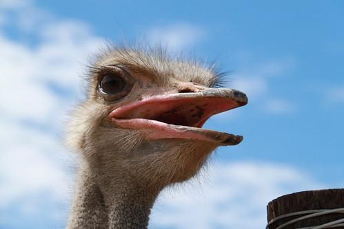 Oudtshoorn Ostrich Farm SA