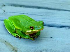 Beautiful frog. Monroe, NC.