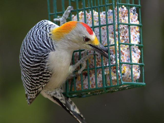 Golden-fronted Woodpecker 2-20111112