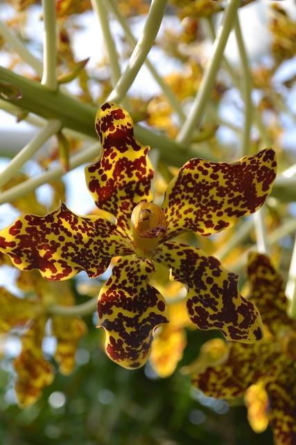 BBG's Grammatophyllum speciosum (tiger orchid) blooms in 2011. Photo by Uli Lorimer.