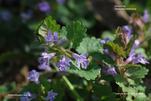 Ground Ivy, Gill-over-the-ground, Haymaids, Creeping Charlie - Glechoma hederacea