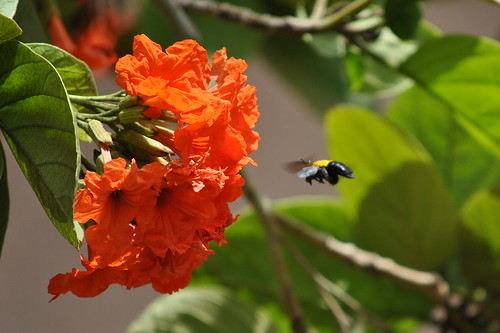 BUMBLE BEE, THE GAMBIA