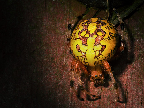 Marbled Orb Weaver by Lopshire by Lopshire Photography