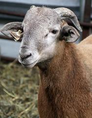 Horned Katahdin ram lamb