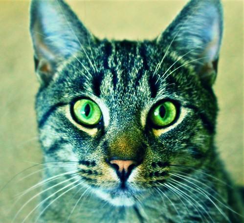 Occhi di gatto in alcune piccole mosse