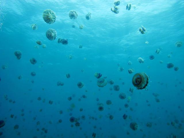 Grupo de medusas coliflor (Cephea cephea), Marsa Shouna, Mar Rojo, Egipto.