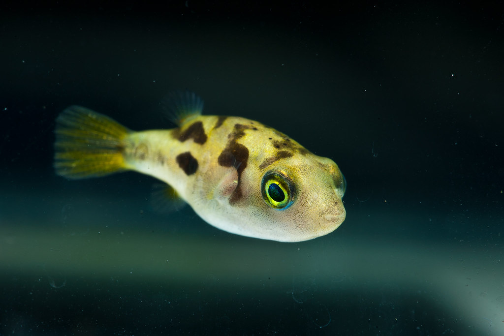 10 gallon questions the reef tank for Freshwater puffer fish care