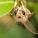Eared moth by pbertner