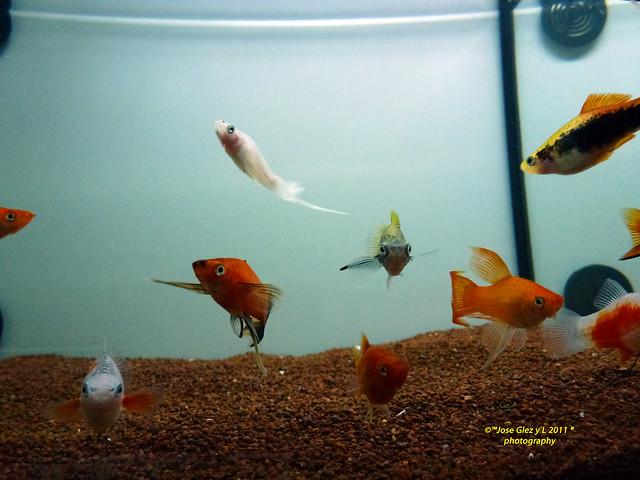 Xifos Gupys Peces De Acuario Agua Caliente Flickr