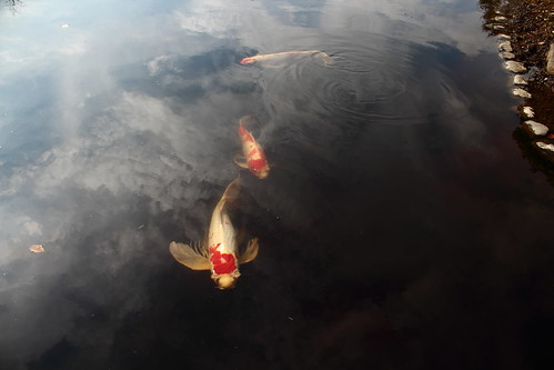 A picture of some koi I took in Japan.