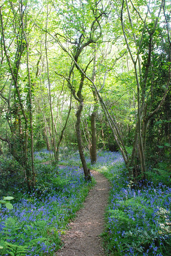 Picking a Pathway Through the Bluebells in Gillham Wood