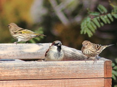 Sparrows and allies