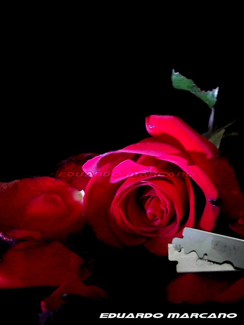 7004684747 4d4a868e2c - Emo rose pictures ...