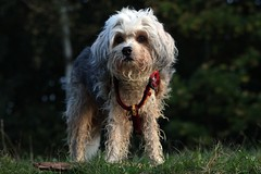 wirehaired pointing griffon(0.0), spinone italiano(0.0), catalan sheepdog(0.0), dandie dinmont terrier(0.0), barbet(0.0), miniature poodle(1.0), dog breed(1.0), animal(1.0), dog(1.0), schnoodle(1.0), petit basset griffon vendã©en(1.0), pet(1.0), lagotto romagnolo(1.0), lã¶wchen(1.0), polish lowland sheepdog(1.0), tibetan terrier(1.0), otterhound(1.0), glen of imaal terrier(1.0), poodle crossbreed(1.0), havanese(1.0), cã£o da serra de aires(1.0), cockapoo(1.0), goldendoodle(1.0), carnivoran(1.0),