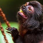 Eating black monkey and rope