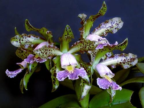 Cattleya schilleriana cerulea by Dalton BR