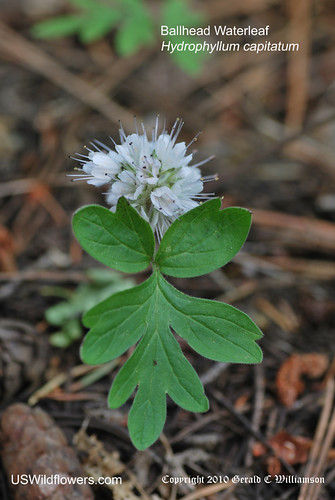 Ballhead Waterleaf, Cat's Breeches, Dwarf Waterleaf - Hydrophyllum capitatum