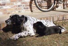 setter(0.0), spaniel(0.0), english springer spaniel(0.0), dog breed(1.0), animal(1.0), dog(1.0), pet(1.0), stabyhoun(1.0), mammal(1.0), small mã¼nsterlã¤nder(1.0), drentse patrijshond(1.0), braque d'auvergne(1.0),