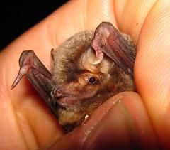 Shreiber's bat (Miniopterus schreibersii)