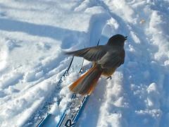 Skiing bird? (Siberian Jay, Perisoreus infaustus), Lofsdalen