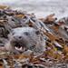 Otter @ Mull #5443