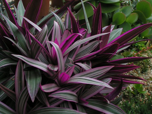 Oyster Plant