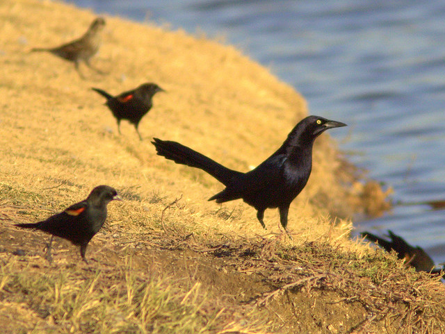 Great-tailed Grackle 2-20111110