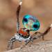 _MG_2576 (1) peacock spider Maratus amabilis by Jurgen Otto