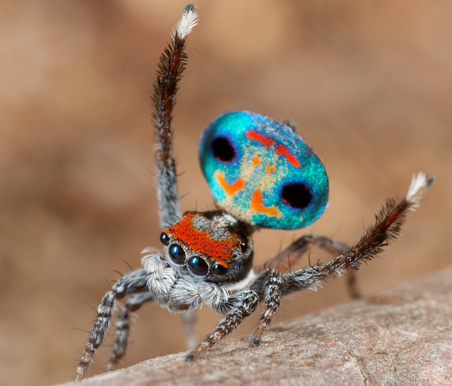 Peacock jumping spiders - photo#39