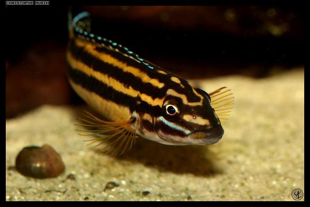 [Vends] Julidochromis regani Kipili (F1) 6341573599_5aef1fecb2_z