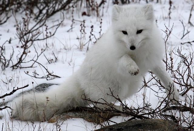 Zorro ártico en Canadá