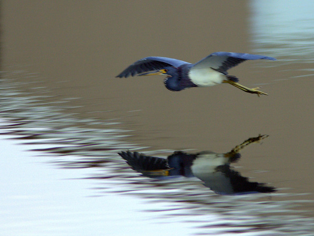 Tricolored Heron 20111120