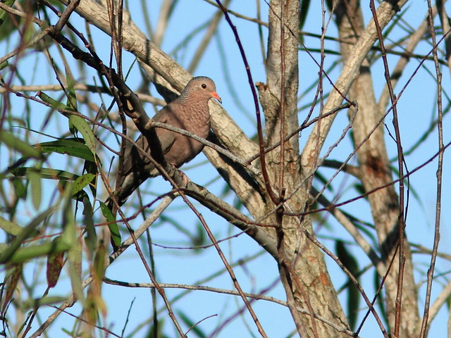Common Ground-Dove 20111123