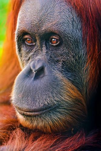 無料写真素材, 動物 , 猿・サル, オランウータン