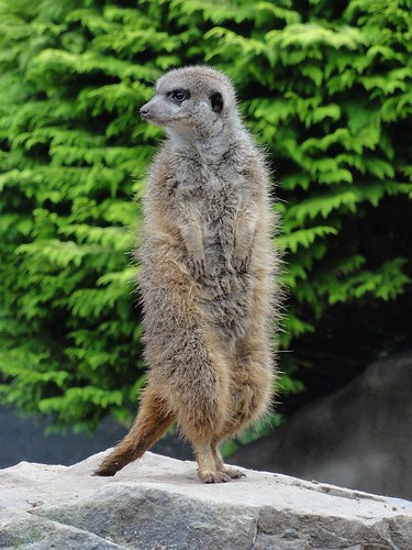 Meerkat on the lookout