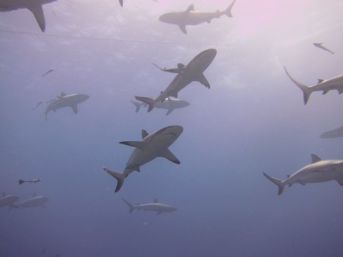 Reef sharks on the Great Barrier Reef