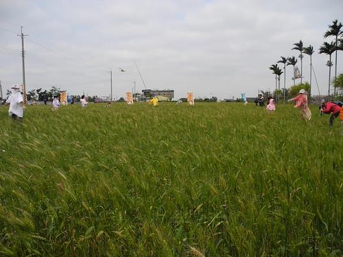 苗栗的有機麥田。