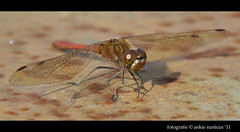 Rode heidelibel Dragonfly