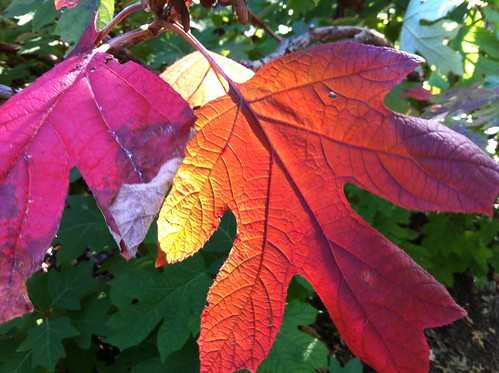 autumn fall nature leaves colorful vivid autumncolors glowing hydrangea radiant natureselegantshots mygearandme mygearandmepremium mygearandmebronze mygearandmesilver musictomyeyeslevel1 jennypansing