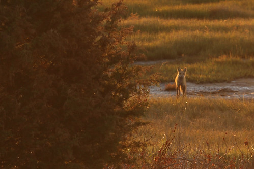 sunrise capecod fox chathamma forestbeachconservationarea