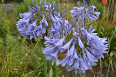 AGAPANTHUS 'Cool Blue'