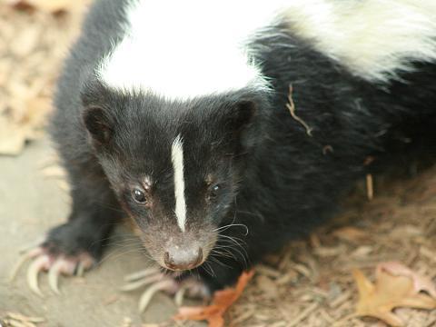 Striped Skunk | Common name: Striped Skunk Scientific nam… | Flickr - Photo Sharing!