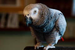 parakeet(0.0), animal(1.0), parrot(1.0), wing(1.0), pet(1.0), fauna(1.0), close-up(1.0), beak(1.0), african grey(1.0), bird(1.0),