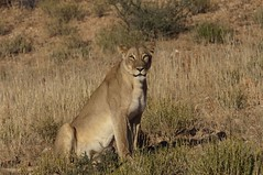 adventure(0.0), cougar(1.0), animal(1.0), prairie(1.0), big cats(1.0), lion(1.0), mammal(1.0), fauna(1.0), puma(1.0), savanna(1.0), grassland(1.0), wildlife(1.0),