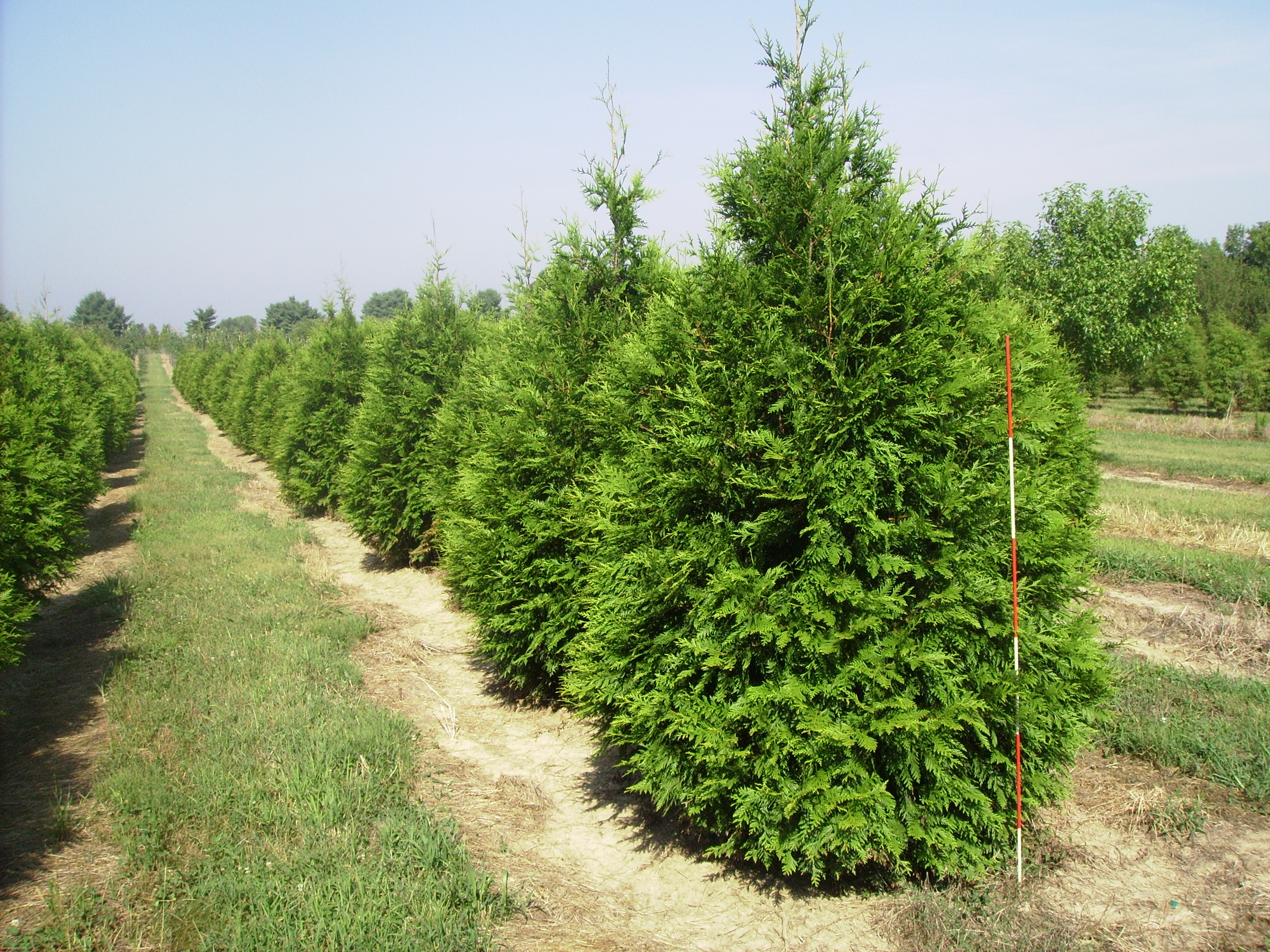 Thuja green giant arborvitae row flickr photo sharing for Green giant arborvitae