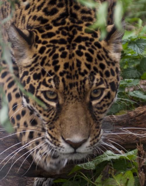 Big Cats (62) | Flickr - Photo Sharing!