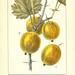 Monographie; ou, Histoire naturelle du genre groseillier, contenant la description, l'histoire, la culture et les usages de toutes les groseilles connues