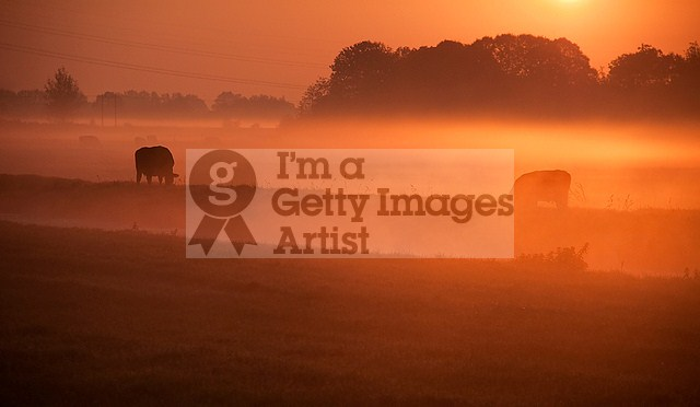 Cows In The Mist II